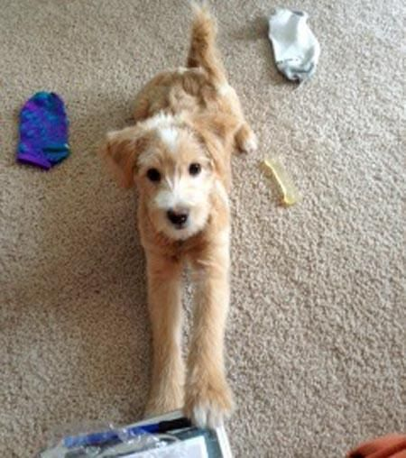 Kobi the Miniature Goldendoodle