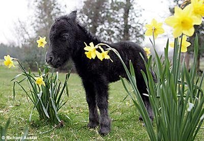 tiny miniature Shetland pony foal---small as daffodils