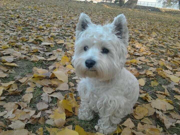 From Westie Rescue Hungary I LOVE WESTIES!!!!! Pinterest