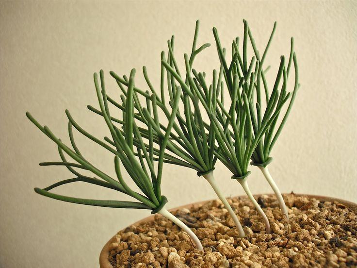 Eriospermum bowieanum Baker