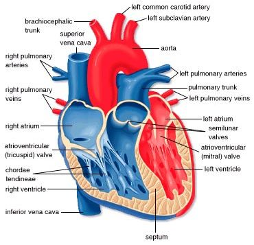 the 25+ best ideas about heart diagram on pinterest | heart, Muscles