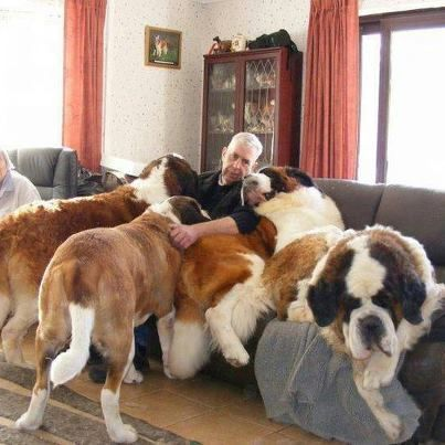 A day in the life of a Saint Bernard lover ❤️