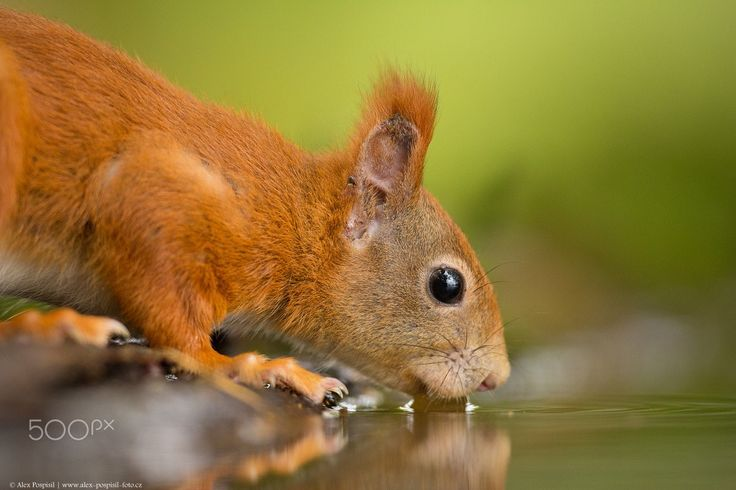 Red squirrel - null