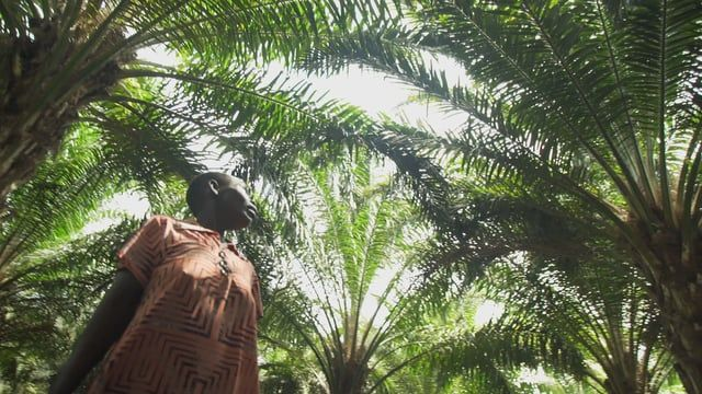 Vignette - Bidco and the Ugandan government introduced the trial version of a now massive oil palm project, and refer to it as the four p's project: the public, private, people project with the main objective being poverty alleviation.