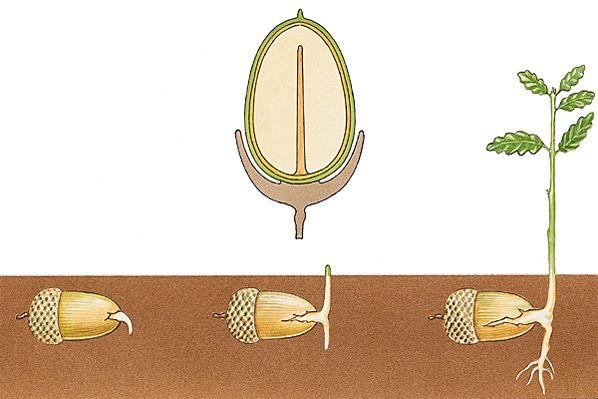 CUPULE Germination hypogée