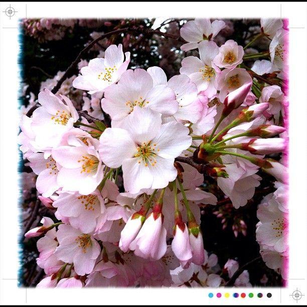 cherry blossoms color scheme