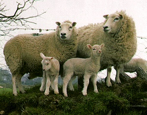 Breeds of Livestock - Lleyn Sheep...Lleyn sheep are a breed of sheep from the Llŷn peninsula, in Gwynedd, north-west Wales. They are bred for prolificacy, good mothering, quiet in nature, high milk yield and excellent for white wool. They are suited to both upland and lowland grazing.