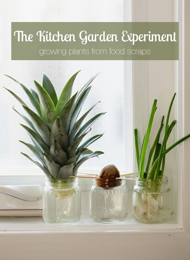 Growing plant from food scraps