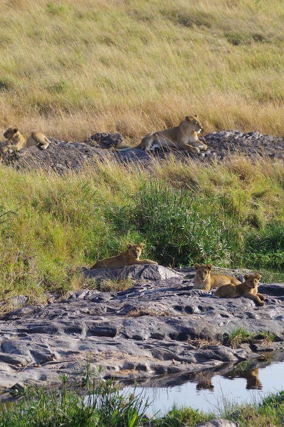 Lion pack, budget safari Kenya, Masai Mara