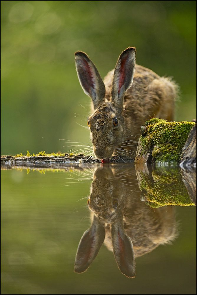 A gorgeous Hare finds his reflection.