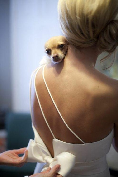 Lil Miss Bridesmaid #chihuahua