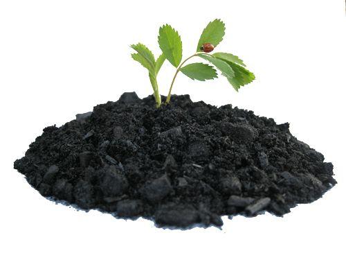 biochar seedling