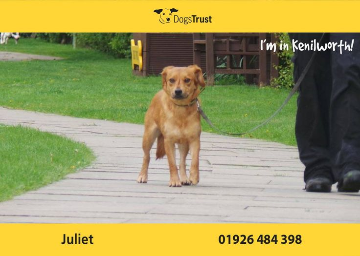 Juliet here from Kenilworth will need to live with another dog in her new home as she gains in confidence when her kennel mate is around.  Juliet is an extremely nervous lady who is finding life overwhelming at the moment. She needs an understanding and patient home with owners who know how to treat her in a positive way and bring her out of her shell.  She could live with older sensible teenagers as long as they give her time on her own when she needs it.