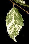 Carpinus betulus 'Foliis Argenteovariegatis Pendula' Grab pospolity 'Foliis Argenteovariegatis Pendula'