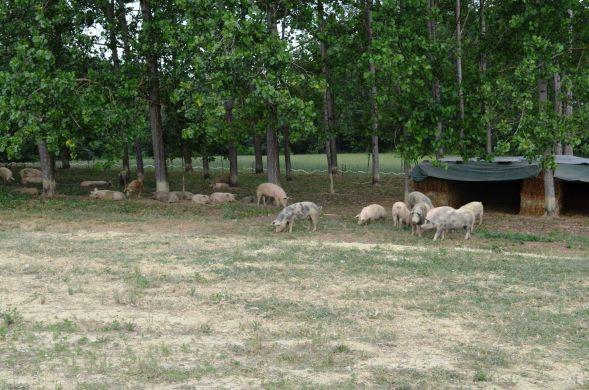 Agrisalumeria Luiset • L'allevamento dei Suini - Pigs