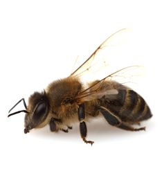 The most common breed of bee you will find in Perth is the European Honeybee. Honeybees are hairy and yellow and black and about 1.3 – 1.6cm in length. Honey bees eat honey they produce from pollen and nectar they remove from flowers.  If you are experiencing a high number of bees around the house, its probable there is a hive nearby.
