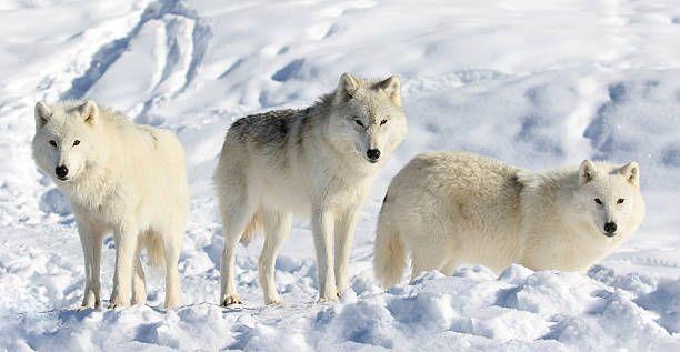 Resultado de imagen para lobo artico