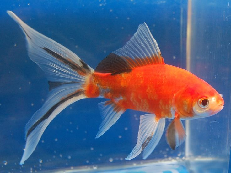 Shubunkin goldfish pond