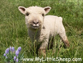 Southdown Babydoll sheep from My Little Sheep farm.  Their website is an excellent source of information on these precious sheep.  www.mylittlesheep.com