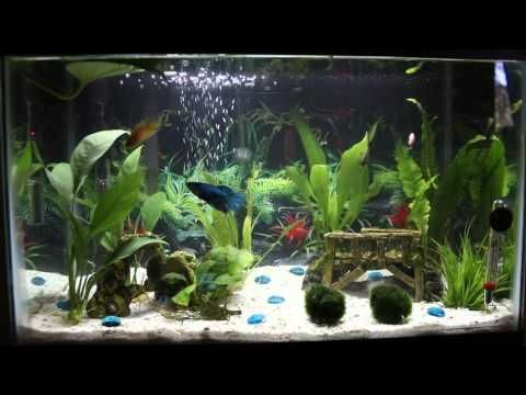 10 gallon female betta sorority tank youtube the pets for Fish tank care