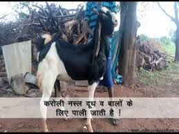 Image result for Indian goat breed poster