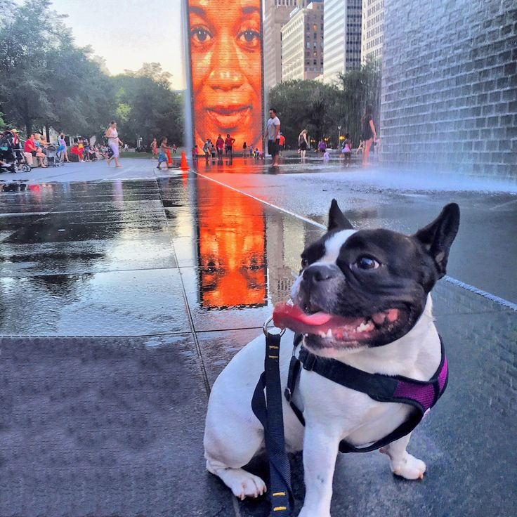 Stella the Frenchie, a French Bulldog in Chicago Cute