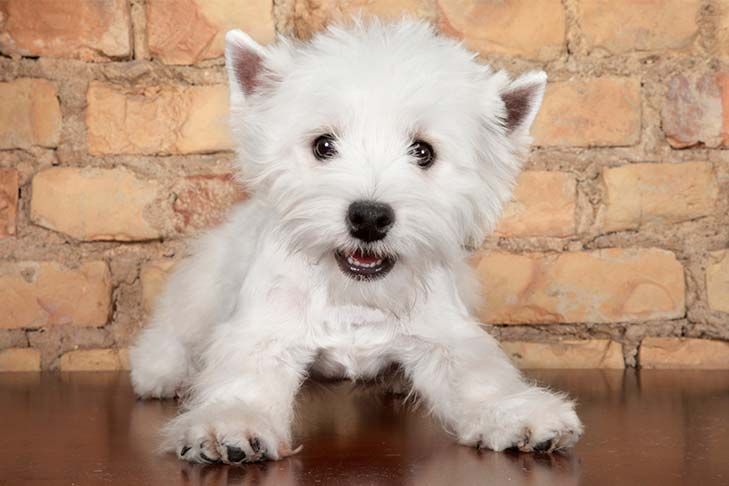 West Highland White Terrier Dog Breed Information Westie Puppies For Sale Westie Puppies Loyal Dog Breeds