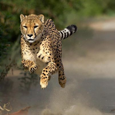 Photo: African big cat Cheetah to be reintroduced in India....