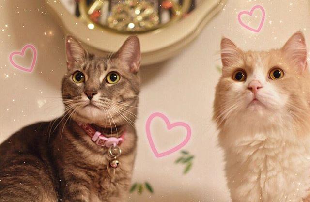 *° 実家の愛猫ちゃん♡( ¯ω¯ ) 可愛い(´⸝⸝•ω•⸝⸝`)♡♡♡ *° 左むうちゃん2歳 右みいちゃん3歳 *° 実家帰ったら二匹に会えるのが楽しみで しょっちゅう帰ってます( 笑 )😃💓 *° 今日は夕方から旦那さん帰ってきたら 食材生活用品のお買い物する(◦ˉ ˘ ˉ◦) それまで実家でゴロゴロ(T▽T)笑 *° #ねこ #猫 #にゃんこ #cat  #nyanstagram #愛猫 #写真 #ママが撮った #一眼レフ #可愛い #cute #instagood #l4l  #like4like
