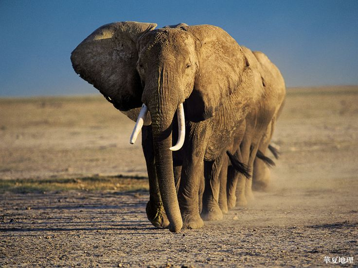 Africa one day: African Elephant, Photos, Elephants, Gentle Giant, Wild Animals, Favorite Animal, Animal Wllpaper, Amboseli Crossing