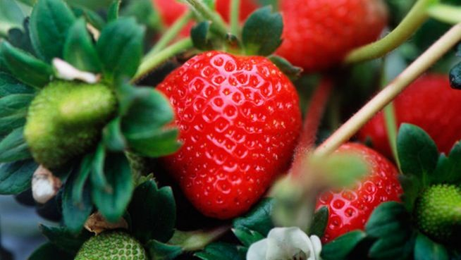 How to Grow Strawberries Successfully (Tips)