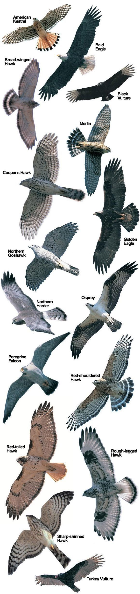 Hawk Species at Hawk Mountain | Hawk Mountain Sanctuary: Raptor Conservation, Education, Observation & Research: