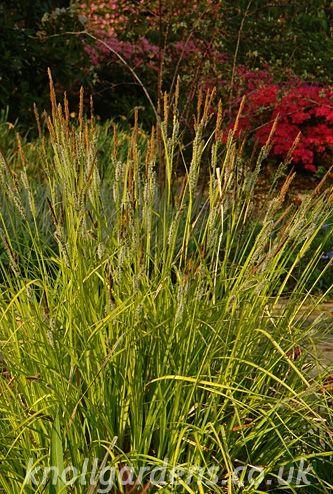 40 best grassen zon evergreen images on Pinterest Evergreen - carex bronze reflection