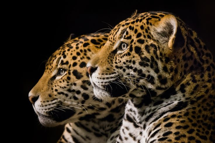 Jaguares Pinterest: 1316 Best Animals Images On Pinterest