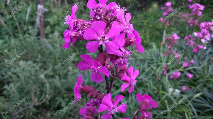 lychnis-viscaria-flower Lychnis viscaria   http://www.pangaiaseeds.com/en/ornamentals-seeds/lychnis-viscaria-en.html