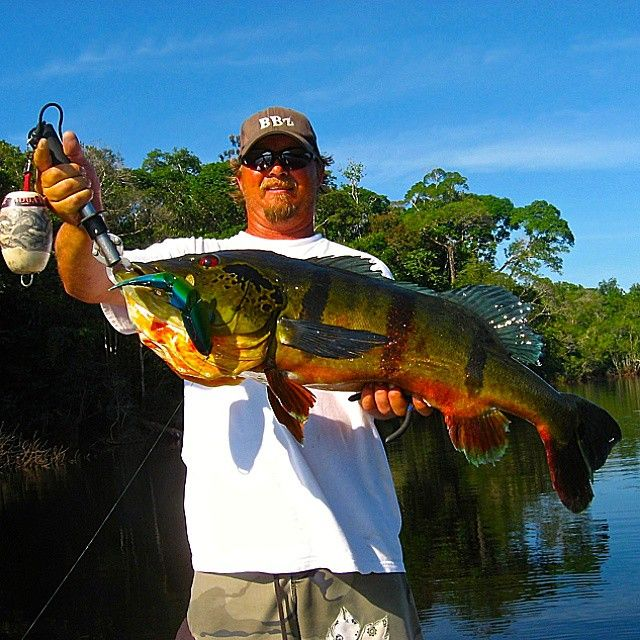 """""""Team BBZ's  Ron Thompson submitted a MONSTER PEACOCK BASS. Caught on a SPRO BBZ -1 8"""" Ocean Bait. Spectacular Saturday, Keep it in the BBZ. #billsiemantel…"""""""
