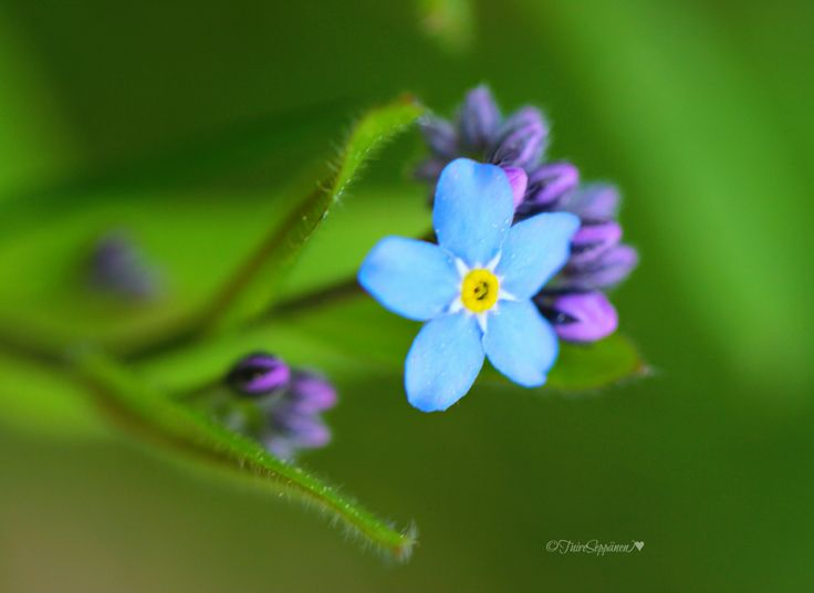Keep Smile, lemmikki, pet flowers