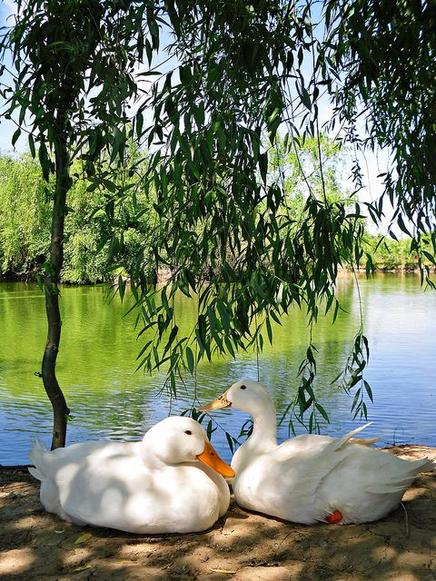 how to keep ducks away from your pond