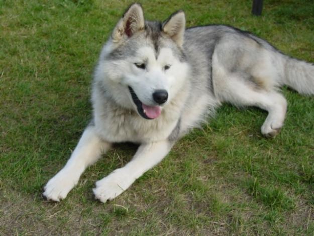 Full Grown Dog Breed That Looks Like An Akita Puppy