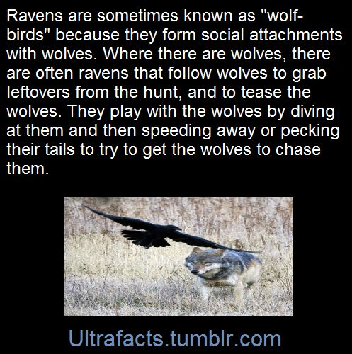 One of the most fascinating relationships between animals is the one that seems to exist between wolves and ravens.  The raven, scavenger of food of all types, will often follow wolf packs in hopes of morsels of food.  And wolves have learned to watch for circling ravens as a sign of of possible food below.  But there seems to be more than just a symbiosis based on food between the two species; many observations have been made that can only be described as a friendship between the big…
