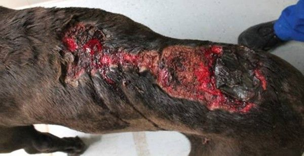 Urgent - dog with burns in need of rescue from animal control
