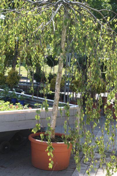 1000+ ideas about Hängebirke on Pinterest | Beautiful gardens ...