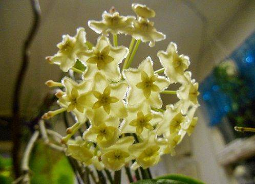 Hoya sp sv 426
