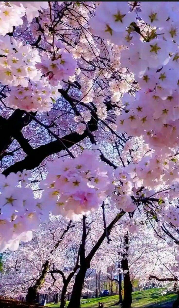 Pin By On Sakura Flowers Nature Blossom Trees Beautiful Flowers