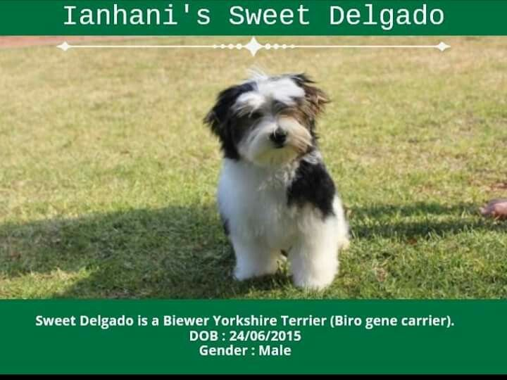 Biewer Yorkshire Terrier Male Available