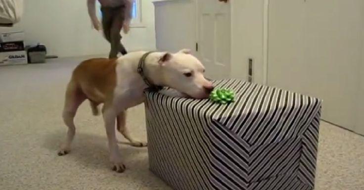 Pit bull de 11 años recibe una sorpresa de cumpleaños tras vencer al cáncer
