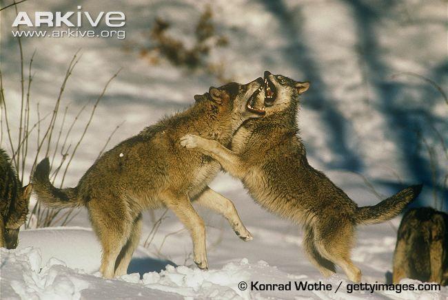 Eurasian wolves fighting