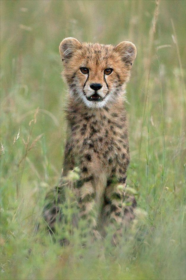 """NUMBER 8: """"Cheetah Baby"""" by Hennie van Heerden, captured in December 2012 with ranger Matt Meyer."""