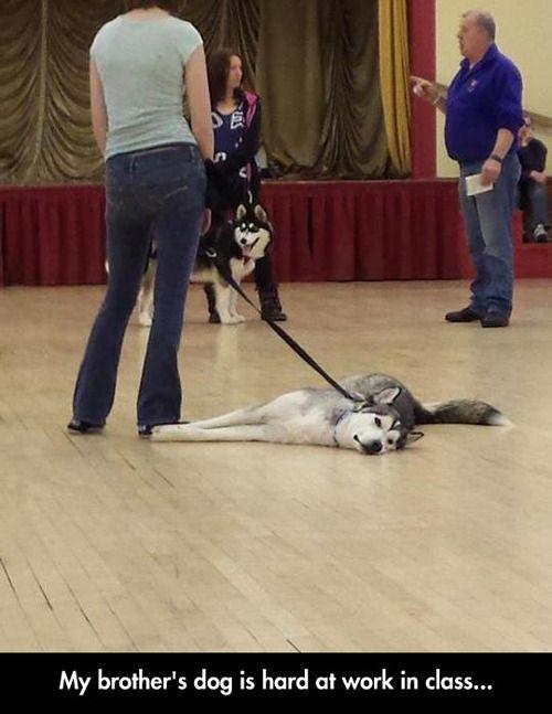 Siberian Husky hard at work in class #animals #dogs #SiberianHusky