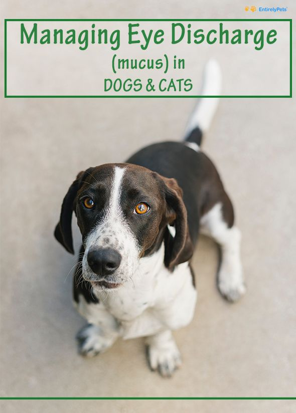 Managing Eye Discharge Mucus In Dogs And Cats Dog Eyes Dogs